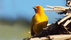Golden Weaver Bird (jaytee27) Tags: goldenweaver naturethroughthelens