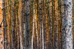 I don't see the forest for the trees. (diwan) Tags: germany deutschland sachsenanhalt saxonyanhalt altmark mahlwinkel wald forest place baum tree bume trees baumrinde borke bark herbst autumn fall color textur natur canoneos650d canon eos explore 2016 geotagged geo:lon=11804107 geo:lat=52370611