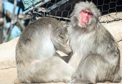 The Picture of Bliss (Flipped Out) Tags: chicago lincolnpark lincolnparkzoo japanesesnowmonkeys japanesemacaque