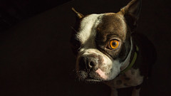 Scooter (wrighteye) Tags: boston terrier dog mansbestfriend ball canon 1740mm brown eye