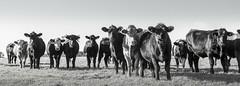 Nosy Cows / Cattle (Scott Bunker) Tags: nikon chewmagna d5000 landscape cattle cows blackandwhite