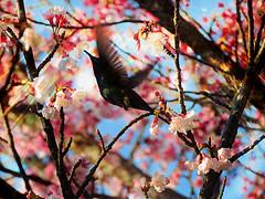 The hummingbird and the cherry tree (Gylzinha (=) Tags: bird spring flower hummingbird rose beijaflor pssaro primavera cerejeira cherry tree liberty voo liverdade nature rvore happy