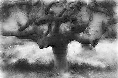 my spooky tree (Noel Leone--my reality in and out of focus) Tags: spookytree japaneseacer treetrunks twisted blackandwhite