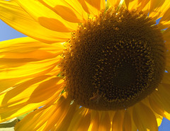 Bee on the Sunflower (John___Anderson) Tags: amazingcolor bees color dreams energy flowers greatness flying heaven interesting insects johnanderson keepsmiling light magic nature outdoor pacificnorthwest reflection sunshine thatwhichjoinsallhumans universe viewfromtheair wonder yes z