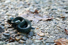 Encounter (RW-V) Tags: canoneos70d canonef100mmf28lmacroisusm snake slang schlange serpent nature natuur grasssnake natrixnatrix watersnake ringedsnake 80faves 100faves 120faves 150faves 175faves 200faves 225faves 250faves