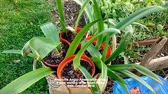Amaryllis Anglo-American hybrids 8 pots waiting to be taken home 24th October 2016 (D@viD_2.011) Tags: amaryllis angloamerican hybrids 8 pots waiting be taken home 24th october 2016