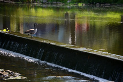 15MS158 Horner Woolen Mill ER (Michael L Coyer) Tags: eatonrapids eatonrapidsmichigan hornerwoolenmill island factory abandon horner goose bird dam river