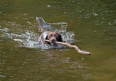 Brandysnapbabe (BecPotts) Tags: chocolatelabrador rivertanat fetch chocolate labrador dog wet swimming brown tree branch water splash pet furbaby