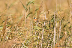 Common Stonechat 1DX12845.jpg (alanmcbride1) Tags: commonstonechat france occitanie aude languedoc bird birds stonechat capestangmarsh