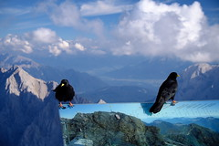 Alpine Choughs of Zugspitze (decineper) Tags: mountain climbing hiking cliff rock summit vista black bird blackbird alpine chough zugspitze hllental hollental klettersteig viaferrata germany alps