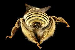Diadasia rinconis, rear, Pima Co., AZ_2016-09-30-17.39 (Sam Droege) Tags: zerenestacker stackshot geologicalsurvey unitedstatesgeologicalsurvey departmentoftheinterior droege biml beeinventoryandmonitoringlaboratory bug bugs canon closeup macro insect patuxentwildliferesearchcenter pwrc usgs dofstacking stacking canonmpe65 taxonomy:binomial=diadasiarinconis bee bees apoidea hymenoptera pollinator nativebee pimacounty arizona donharvey intern fuzzy cactus cacti