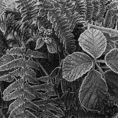 Frosted bramble and bracken (Dukes Hag Wood) (Jonathan Carr) Tags: abstract abstraction landscape rural northeastblackwhitebwtoyo 45a4x55x4large format monochrome brambles fern bracken frost winter
