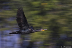 Cormorant in panning motion..... (Silvio Sola) Tags: cormorano cormorant panning motion uccello bird volo flight flighting