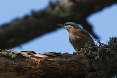 Eurasian Nuthatch (keynowski) Tags: eurasiannuthatch svac sittaeuropaea animalplanet animal bird nature ngc 400mmf56l canonef400mmf56lusm canon70d