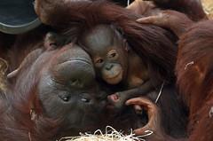 orangutan ouwehands JN6A7020 (j.a.kok) Tags: orangutan orangoetan orang monkey motherandchild moederenkind ape aap primaat primate ouwehands ouwehandsdierenpark ouwehandszoo mammal zoogdier