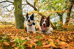 Posing in the autumn leaves (D.A.M) Tags: autumn autumncolours dog dogs forest bordercollie eastlothian scotland westsaltouneastsaltoun westsaltoun eastsaltoun