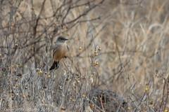 Say's Phoebe (gvall66) Tags: az birdwalk phoebe redrockstatepark saysphoebe sedona