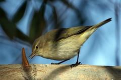 IMG_2370 wv (doctorjan2000) Tags: birds birdsphotography chiffchaff commonchiffchaff shiraz shirazbirds
