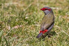Red-browed Finch 2016-12-01 (60D_5760) (ajhaysom) Tags: redbrowedfiretail redbrowedfinch neochmiatemporalis woodlandshomestead woodlandshistoricpark greenvale melbourne australia australianbirds canoneos60d sigma150600