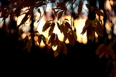 Sunset is the opening music of the night.  ~ Mehmet Murat ildan (gwuphd) Tags: sunset dusk bokeh leaves light steinheil culminar 85mm f28 foliage