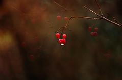 Dlices d'automne .... (chana4 ( Nancy Charlton)) Tags: couleur automne cerise