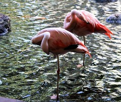 flamingos (joybidge) Tags: trishcanada naturepatternscanada mauihawaii