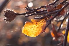 Leaf in backlight (ambrasimonetti) Tags: leaf backlight faggio foglia secca foglie frutti rami bosco overshadow leaves saveearth