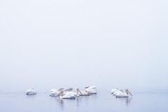 Pelicans in the Fog (Kansas Poetry (Patrick)) Tags: wetlands bakerwetlands wakarusawetlands lawrencekansas fog pelican pelicans kansas patrickemerson