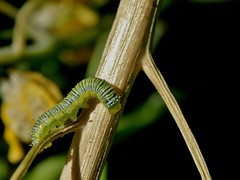 Coliadinae (carlos mancilla) Tags: coliadinae insectos mariposas butterflies orugas caterpillars raynoxdcr250 olympussp570uz