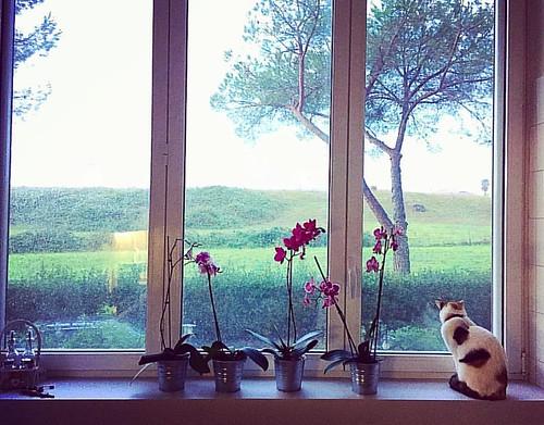 """Maya tra le orchidee in """"osservazioni mattutine"""" #maya #mayathecat #osservotutto #ilmondolafuori #fafreddoperuscire #uffalapioggia"""
