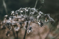 (philipps95) Tags: fog autumn fall leaves foliage droplets haze spider webs macro morning moody