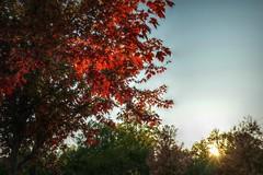 Red (builder24car) Tags: autumn fallcolors perspective intothesun tree red leaves sunburst leecounty sanfordnorthcarolina