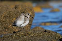 bcasseau variable ( Calidris alpina ) Erdeven 161105p2 (pap alain) Tags: oiseaux chassiers charadriids bcasseauvariable calidrisalpina dunlin erdeven morbihan bretagne france