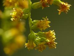 Makro im Herbst. Die letzten Blüten. (Wallus2010) Tags: raynoxdcr250 herbst blumen samen grosmoor germany panasonic fz50 macrodreams