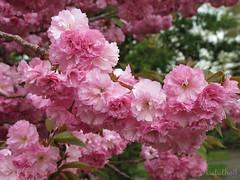 (NataThe3) Tags: nature flower blossom bloom cherryblossom