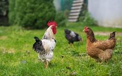 rooster (33) (Vlado Fereni) Tags: rooster animals animalplanet birds zagorje hrvatskozagorje hrvatska croatia nikond600 nikkor8518