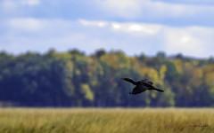 Cormoran à aigrette (yveshebert) Tags: oiseaux oiseauxduquébec outaouais ottawariver birds birdsinflight gatineau plaisance16