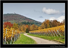 Strolling around @ Baden-Baden 67 (M.J.Woerner) Tags: forest autumn wood foliage leaves woods october november laub herbstlaub autumnforest fallfoliage fallleaves herbstwald autumnfoliage forst spaziergang badenbaden hills northernblackforest rebland foothills blackforest landscape winegrowing village gallenbach gilded gold vineyard vine