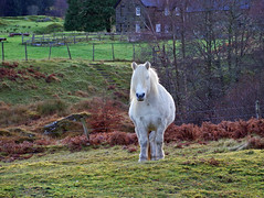 Highland Horse (eric robb niven) Tags: ericrobbniven scotland dundee glenlyon perthshire horses highland pony animal