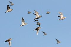 Golden Plovers (Ger Bosma) Tags: 2mg191167 goudplevier pluvialisapricaria goldenplover goldregenpfeifer pluvierdor chorlitodorado plovers birds flight flock group sky