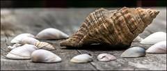 shells (tsmpaul) Tags: canon eos600d rebelt3i kissx5