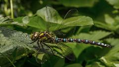 Common Hawker ? ( Aeshna juncea ) (waynedavey67) Tags: aeshnajuncea dragonfly commonhawker insect bug flying canon 6d 100mmlf28 fauna handheld animal creature nature wildlife wildandfree wild outdoors outside
