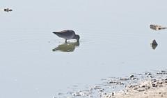 Long-billed Dowitcher (Limnodromus scolopaceus); Wilcox, AZ, Twin Lakes [Lou Feltz] (deserttoad) Tags: wildlife nature arizona water lake desert plant bird wildbird shorebird dowitcher reflection