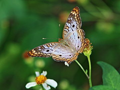 White Peacock 20161205 (Kenneth Cole Schneider) Tags: florida miramar westbrowardwca
