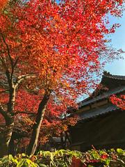 2016  (shinichiro*) Tags:    jp 20161122img5905 2016 crazyshin appleiphone7plus iphone   november autumn niiza saitama japan