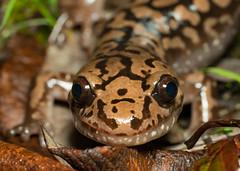 A Study in Brown (Tony P Iwane) Tags: dicamptodon dicamptodontenebrosus humboltcounty macro california coastalgiantsalamander salamander salamanders amphibians amphibian wildlife herping herps fieldherping