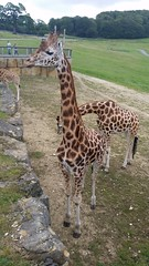 Giraffe (DBS 60100) Tags: butterfly meerkat stingray giraffe longleat safaripark mantaray adventurepark
