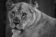 Lioness (Matt Hecht) Tags: elephant public animal animals zoo monkey photo meerkat chimp knoxville tiger lion free photograph ap getty giraffe baboon royalty domain reuters