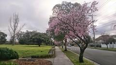 Spring has sprung at Allnut Park, McKinnon - plum blossoms (avlxyz) Tags: park flowers spring fb sakura plumblossoms