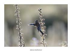 En quilibre (bertholino fabrice) Tags: bird nature nikon fullframe oiseau environnement 600mm biodiversit nikond600 linottemlodieuse baiedesaintbrieuc passereau capturenx2 photodenature capteur24x36 fabricebertholino tamron150600f63vc